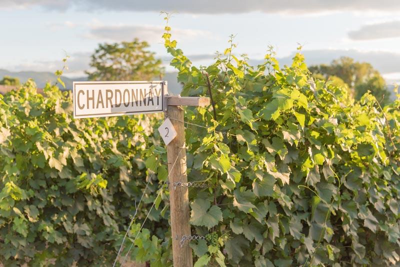 Chardonnay wijngaarden